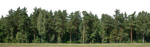 background with pine forest