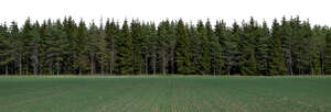 background image of a spruce forest