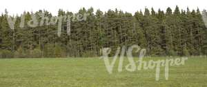 cut out background with spruce forest