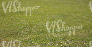 low cut grass with daisies and dandelions