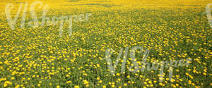 large field of dandelions