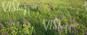 meadow of tall grass with flowers