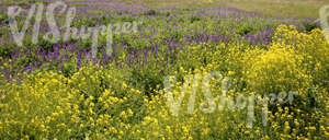 meadow with yellow and purple flowers