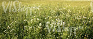 tall grass and yarrow field