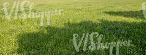 grass field with shadows and white clover