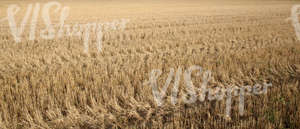 crop field after harvesting