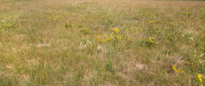 meadow with some yellow flowers