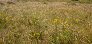 meadow with hay and yellow flowers