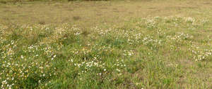 meadow with blooming daisies