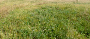 meadow with grass and yarrow