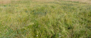 meadow with tall grass and white flowers