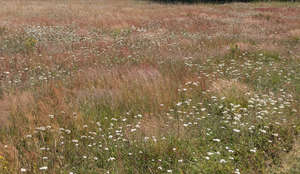 meadow with blooming yarrow
