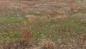 meadow with yarrow and pink grass