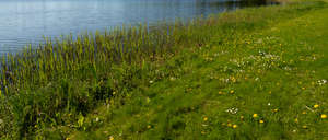 bank shore with some dandelions