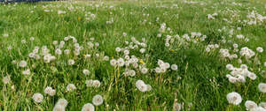 field of dandelion seedheads