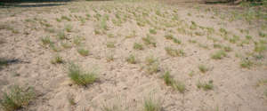 sand with small tufts of grass