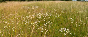 grassland with daisies