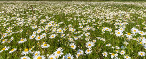 field of blooming daisies