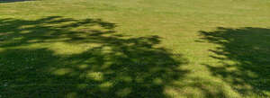 lawn with tree shadows and small daisies