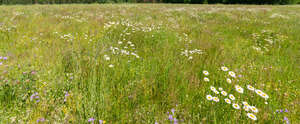 meadow with daisies and bellflowers
