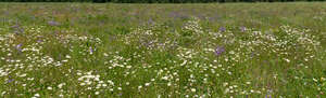 meadow with many daisies and bellflowers