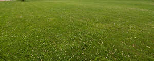 lawn with blooming clover