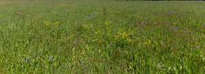 field with blooming bellflowers and buttercups