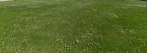 field with many small blooming daisies