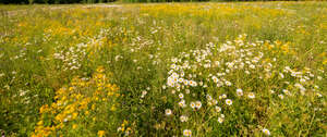 meadow full of blooming daisies and st john wort