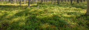 ground in the pine forest
