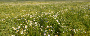 meadow of blooming daisies