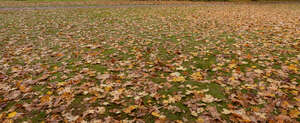 lawn with fallen maple leaves