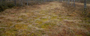 mossy ground in bog forest