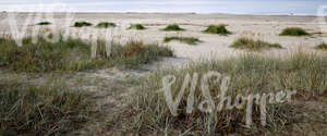 sandy seaside ground with bulrushes