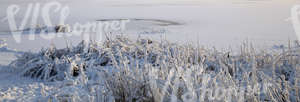 Frozen lake with snow-covered sedges
