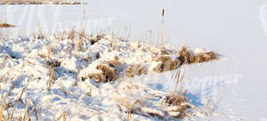 snow-covered ground with bulrushes