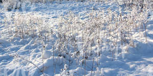 snow-covered ground with reeds