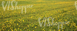 Field of grass in springtime with dandelions