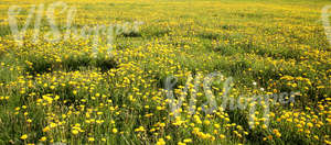 Field of grass with dandelions