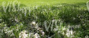 grass field with fallen blossoms