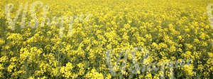 field of rapeseed flowers