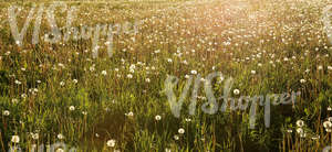 field of tall grass with dandelions