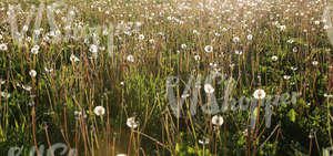field of tall grass with dandelions up close