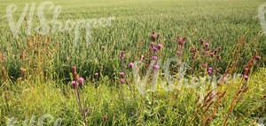 barley field and tall grass with thistle