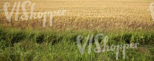 crop field and tall grass