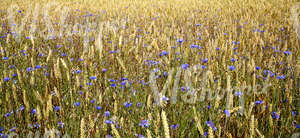 crop field with cornflowers