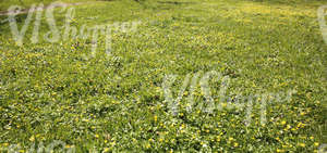 grass ground with spring flowers