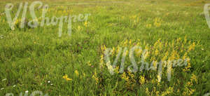 field of tall grass with yellow bedstraw