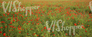 field of poppies and peas
