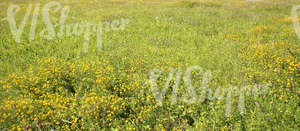 field of tall grass with yellow alfalfa flowers